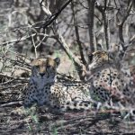 Cheetah Metapopulation Project