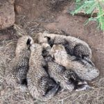 The Miracle 5 cheetah diary entry 1: Survival and early days